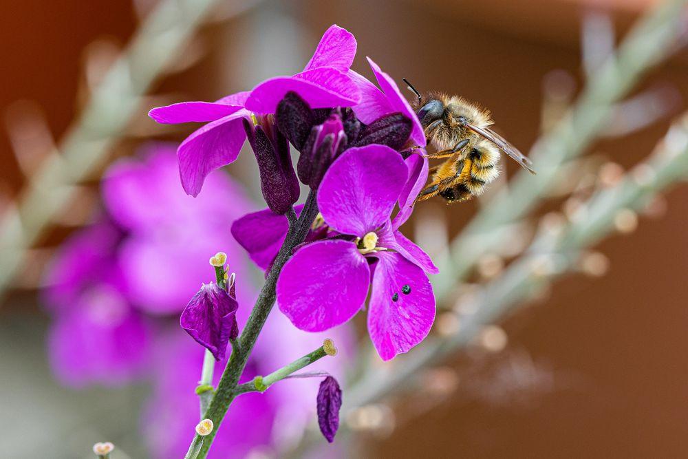 Обои для рабочего стола Пчела на розовых цветах, by Dimitri Houtteman