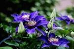 Обои Цветы клематиса на размытом фоне, by Sonja Kalee
