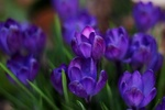 Обои Цветы фиолетовых крокусов, by Sonja Kalee