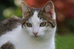 Обои Серо-белая кошка на размытом фоне, by Sonja Kalee