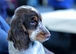 Обои Собака породы спаниель бигль на размытом фоне, by Sonja Kalee