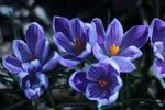 Обои Цветы сине-сиреневого крокуса на размытом фоне, by Sonja Kalee