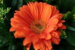 Обои Цветок оранжевой герберы, by Sonja Kalee