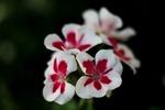 Обои Цветы красно-белой герани на темном фоне, by Sonja Kalee