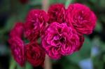 Обои Бордовые розы на размытом фоне, by Sonja Kalee
