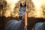 Обои Серая лошадь на размытом фоне природы, by rihaij