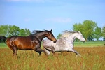 Обои Бегущие по траве лошади на фоне деревьев и неба, by rihaij