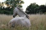 Обои Лошадь лежит в траве на размытом фоне природы, by rihaij
