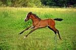 Обои Жеребенок бежит по траве, by rihaij