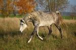 Обои Серая лошадь идет по земле, by rihaij