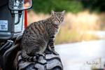 Обои Полосатый кот сидит на колесе авто, фотограф Martin Schаfer