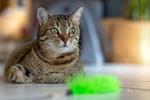 Обои Серая кошка с зелеными глазами на размытом фоне, фотограф Martin Schаfer