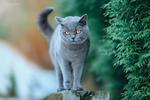 Обои Дымчатого цвета кошка на размытом фоне, фотограф Natasha Busel