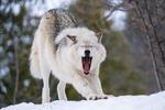 Обои Волк потягивается, стоя на снегу