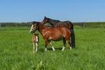 Обои Лошади и жеребенок пасутся на траве, by Lilo