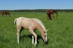 Обои Лошади и жеребенок пасутся на лугу, by Lilo