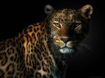 Обои Ягуар на темном фоне, by Pedro Jarque Krebs