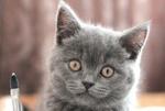 Обои Кошка дымчатого цвета, by kejamy-Olga