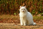 Обои Белая кошка сидит на земле, by Mabel Amber