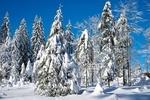 Обои Заснеженные деревья, by Ilona