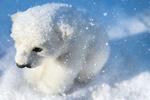 Обои Маленький белый медвежонок в снегу, by Ilona