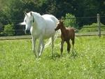 Обои Белая лошадь и коричневый жеребенок стоят на траве траве, by JDavid Mark