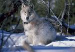 Обои Волк сидит в снегу, by JDavid Mark