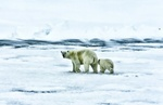 Обои Белая медведица с медвежонком идут по снегу, by JDavid Mark