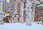 Обои Стволы берез на снегу, by t_watanabe