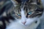 Обои Серо-белая кошка с голубыми глазами, by Mabel Amber