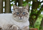 Обои Серая кошка с голубыми глазами на размытом фоне, by JacLou DL