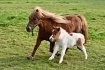 Обои Шотландская пони с жеребенком, by JacLou DL
