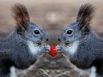 Обои Белки держат красное сердечко на размытом фоне, by Gerd Altmann