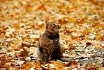 Обои Кошка сидит на осенних листьях и смотрит вверх, фотограф Олег Реутов