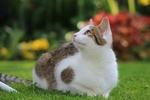 Обои Серо-белая кошка лежит на траве, by Sonja Kalee