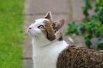 Обои Серо-белая кошка смотрит вверх, by Sonja Kalee