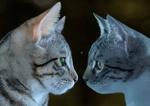 Обои Две серых кошки, by Gundula Vogel
