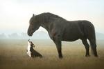 Обои Пес стоит перед лошадью, фотограф Светлана Писарева