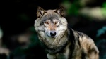 Обои Волк на размытом фоне природы, фотограф Hans-Jurgen Knuppel