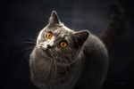 Обои Кошка с янтарными глазами, by Elke Kibal