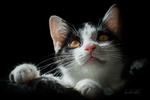 Обои Черная кошка с желтыми глазами и белой мордочкой, by Elke Kibal