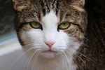 Обои Серо-белая кошка крупным планом, by Manfred Richter
