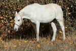 Обои Белая лошадь стоит в траве, by Manfred Richter