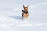 Обои Собака бежит по снегу, by Manfred Richter