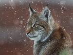 Обои Рысь под снегопадом, фотограф Богданов Олег