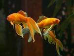 Обои Золотые рыбки под водой, by Hans Braxmeier