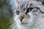 Обои Мордочка серой кошки с голубыми глазами крупным планом на размытом фоне, by JacLou DL