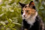 Обои Трехшерстная кошка на размытом фоне, by Gabriel Vera