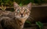 Обои Серая кошка с разноцветными глазами на размытом фоне, by Gabriel Vera
