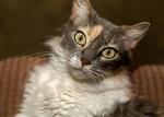 Обои Трехшерстная кошка с зелеными глазами на размытом фоне, by Gabriel Vera